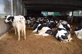 10 claves para trabajar con camas de compost en granjas de vacuno de leche