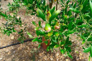 Recomendaciones para comprar olivos con garantías fitosanitarias