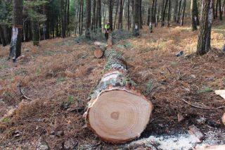 Lourizán analiza la  compatibilidad del aprovechamiento de la resina de pinos con el uso maderero