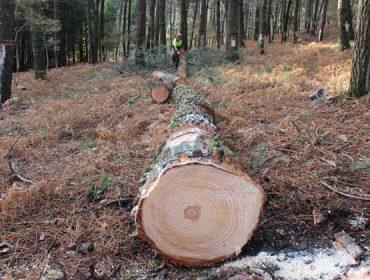 La Guardia Civil detiene a un maderista de Ourense por vender pino infectado por el nematodo