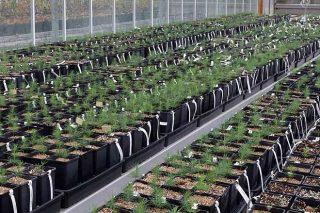 Lourizán cataloga seis progenitores de familia de pino del país resistentes al nematodo, de los que habrá semilla disponible este año