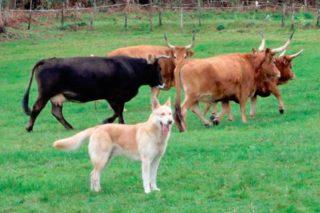 La Xunta analiza el potencial del Can de Palleiro como pastores y protectores del ganado