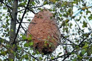 Una investigadora gallega desarrolla un método efectivo para localizar nidos de Vespa velutina