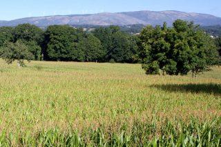 Resultados de los ensayos del Ciam con las variedades de maíz forrajero 2019