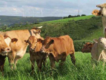 Amio recupera la afluencia de ganado y se mantiene sin variaciones en los precios