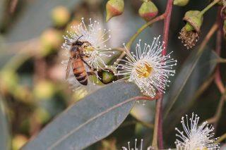 Investigadores analizarán el potencial del eucalipto nitens para producir miel en Galicia