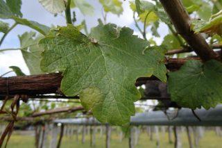 Recomiendan aplicar los primeros tratamientos contra el mildiu en viñedo