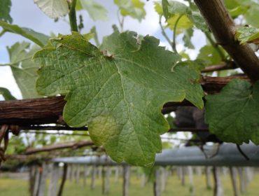 Areeiro incide en extremar el control del viñedo por el mildiu ante la previsión de lluvias