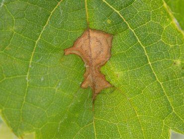 Alertan de indicios de «black rot» en los viñedos de Valdeorras