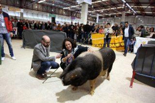 Los mejores cerdos celtas y los ganaderos más hábiles en su manejo se decidirán en la feria Abanca Semana Verde de Galicia