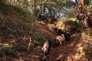 Tres Fuciños, una cooperativa kilómetro cero de la carne de cerdo celta