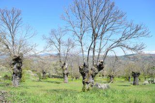 Tres nuevos cursos sobre poda y plantaciones de castaños