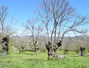 Jornada este sábado en Cerceda sobre cultivo del castaño