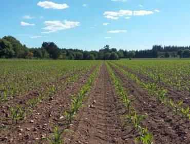 Charla online sobre manejo en la siembra del maíz
