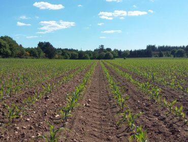 Control de plagas y malas hierbas en maíz: la estrategia de Kenogard