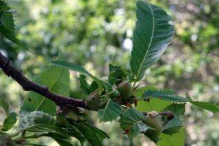 Jornada sobre la lucha contra la avispilla del castaño en Lourizán
