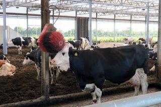 ¿Qué medidas claves mejoran el bienestar en las granjas de vacuno de leche?