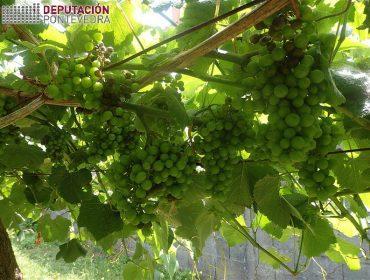 Areeiro advierte de que el tiempo está siendo muy favorable para el mildio y el oídio en viña