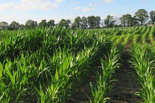 Investigaciones gallegas procuran maíz y variedades de viñedo más resistentes a los hongos