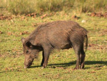 El 90% de los casos de animales con tuberculosis en Galicia son de fauna salvaje