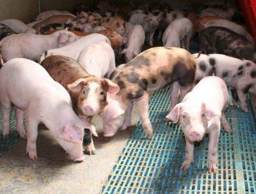La nueva normativa para las granjas de porcino: valoración del sector en Galicia