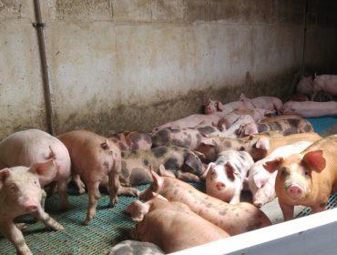 Se estabiliza el precio del porcino en Silleda, tras varias semanas a la baja