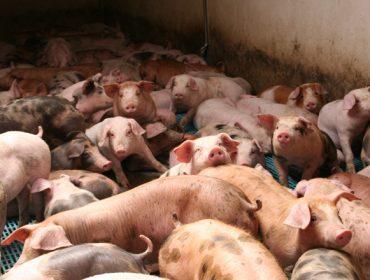 Piden incorporar la peste porcina a los seguros agrarios