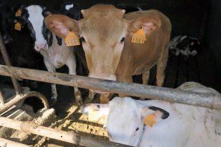 Agricultura pide que Europa active medidas de apoyo para el vacuno de carne