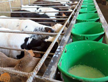 ¿Como se trabaja en uno de los cebaderos de terneros más grandes de Galicia?