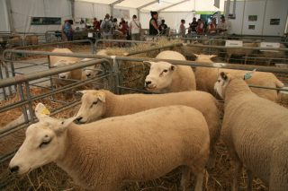 Últimas tendencias en el sector ovino en Francia