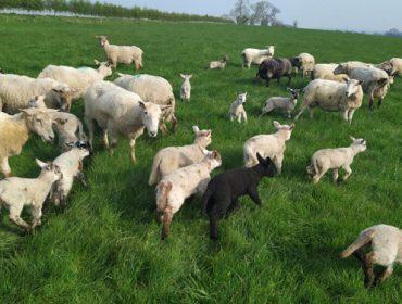 225 ganaderos de ovino y caprino recibieron ayudas de la Xunta por la caída de ventas provocada por la Covid19