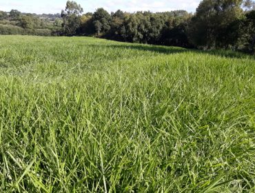 Jornada informativa sobre el pasto siambasa como alternativa forrajera