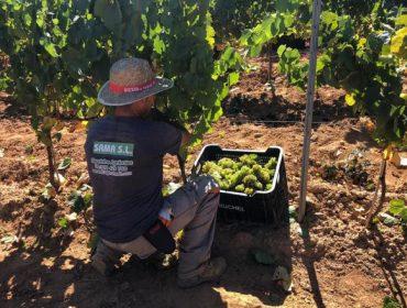 Valdeorras cierra una de las vendimias más abundantes, con 6,7 millones de kilos de uva recogidos