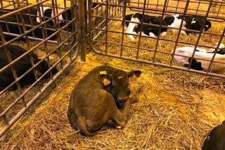 Aumento de la afluencia de ganado al mercado de Amio