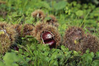 Piden un plan de choque contra la avispilla del castaño en Ancares y Courel