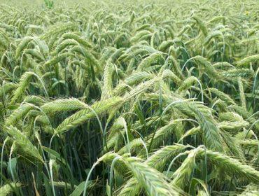 Colza y centeno híbrido, dos cultivos con potencial en Galicia