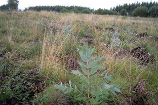 (III) La presión del eucalipto sobre la superficie agrícola: 240.000 hectáreas plantadas desde la entrada en la UE