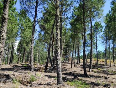 La sequía condiciona la resistencia de los pinos frente al gorgojo