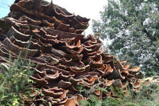 El corcho de los alcornoques, un recurso desconocido del monte gallego