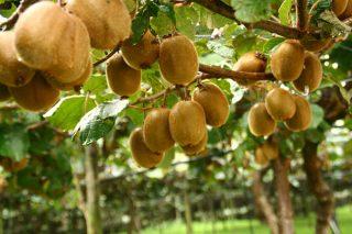 """Kiwi Atlántico logra una cosecha de unas 9000 toneladas de """"gran calidad y calibre"""""""