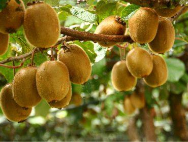 Jornada formativa sobre las oportunidades de negocio del cultivo del kiwi en Galicia