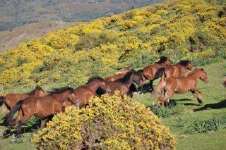 El resurgir del caballo gallego como gestor del monte