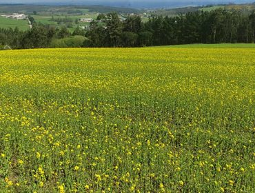 Abonos verdes, una solución para reducir el uso de herbicidas en las tierras