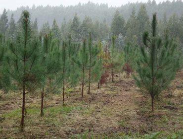 Próxima convocatoria de ayudas para plantación de pinos y frondosas en terrenos desarbolados