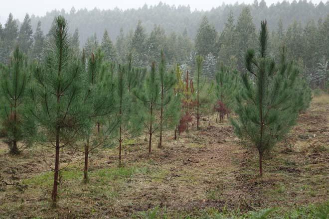 La Xunta liga la suspensión de nuevas plantaciones de eucalipto con incentivos para pinos y frondosas