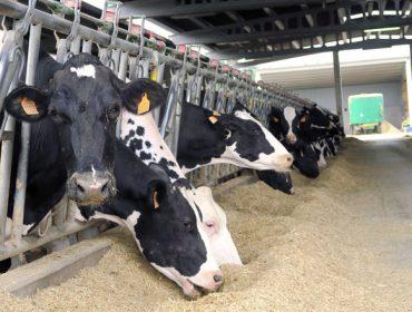 Cuando las vacas vuelven a calcular la ración del nutrólogo
