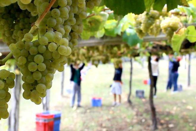 Así subió este año el precio de las uvas en cada una de las denominaciones gallegas