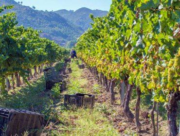 Récord de cosecha en la D.O. Monterrei, con 5,7 millones de kilos de uva