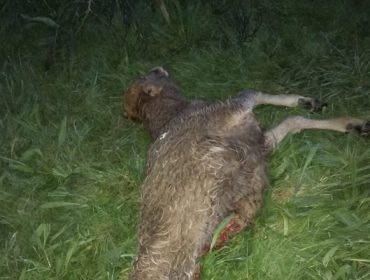 Un ganadero del Barbanza suma 26 bajas por el lobo este año