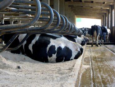 Tipos de camas para vacas de leche: análisis comparativa